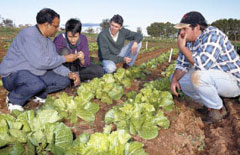 National Vegetable Industry Staff inspect a Wong Bok (Chinese cabbage) trial at Yanco Agricultural Institute. Photo: Graham Johnson