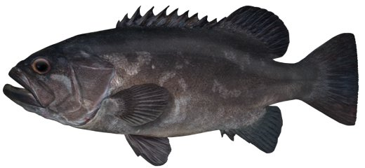 Bass Groper Polyprion moeone NSW Department of Primary Industries
