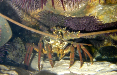 Sea urchins and lobster in a crevice