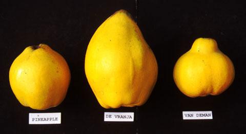 Quince varieties 2