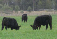 Cattle research is done in collaboration with the Beef CRC in Armidale
