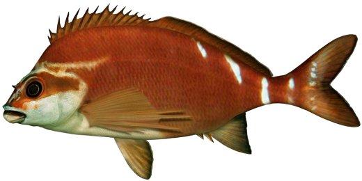 Red morwong