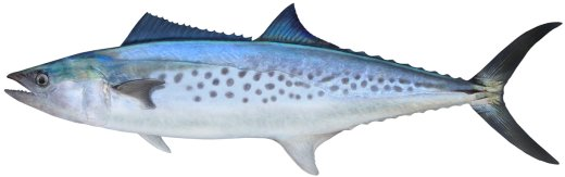 Mackerel (Spotted)