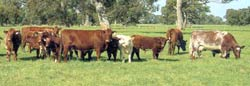 Shorthorn cows and calves