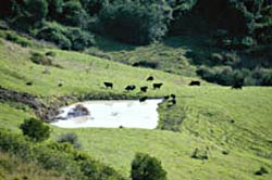 Cattle at a dam