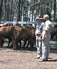 Men looking at cattle in yards