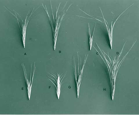 elymus scaber common wheat grass
