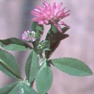 Persian clover