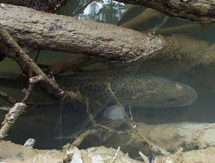 The Murray cod uses snags for shelter and breeding.