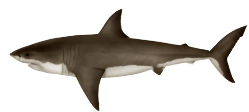 Great White Shark. Illustration: Pat Tully