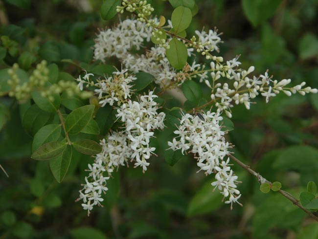 Small-leaf privet flowers