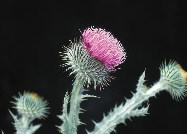 Scotch thistle flower.