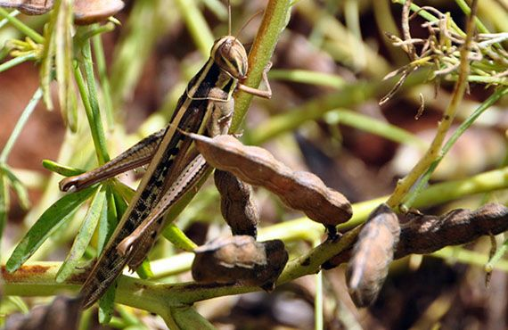 Spur-throated locust at Parkes