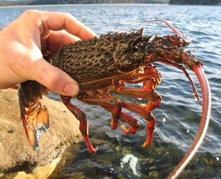 A  rock lobster