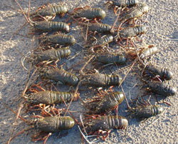 Lobsters seized by Fisheries Officers