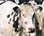 Dairy cow spotlight
