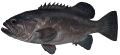 Bass Groper
