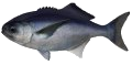 Blue-Eye Trevalla (Cod)