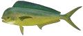 Mahi Mahi (Dolphinfish)