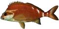 Morwong (Red)