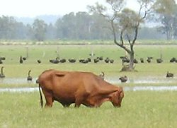 Cattle grazing a swamp in the Clarence River floodplain