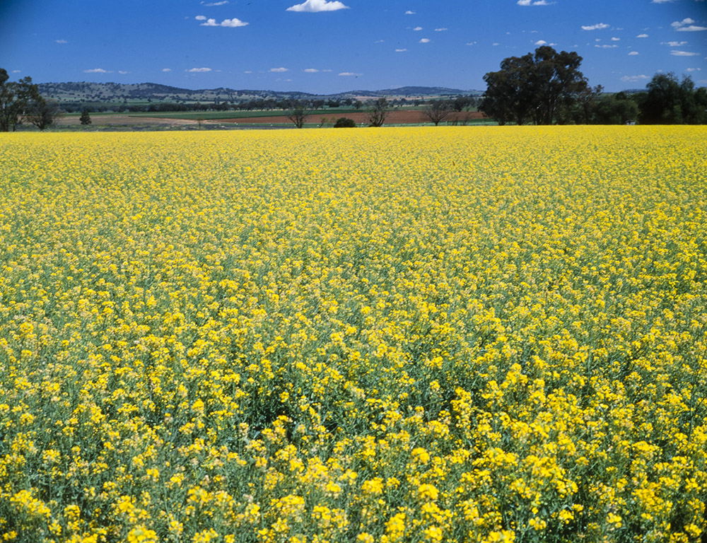 A landscape dominated by a canola crop with undulating mountains in the distance