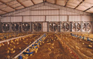 Chicks in tunnel ventilated shed