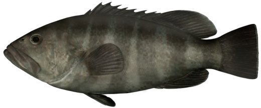 Banded Rock Cod
