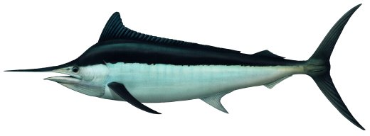 Image result for black marlin fish