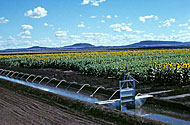 Irrigated sunflowers