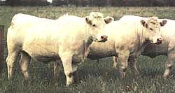 charolias نژاد گاو گوشتی شاروله