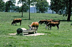 Cattle at a trough