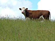 Hereford cow on hill