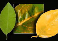 Symptoms of nitrogen deficiency