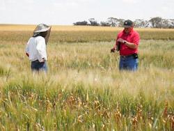 Inspecting a durum wheat crop