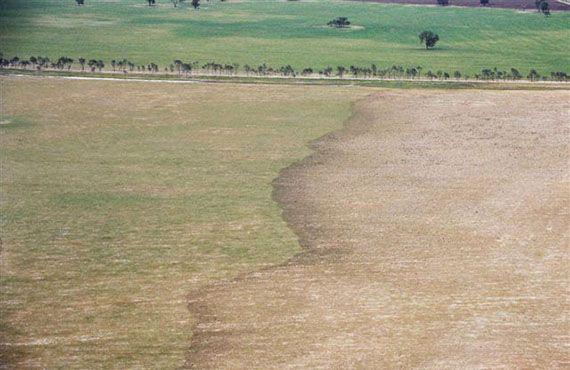 Plague locust nymphal band moving through pasture