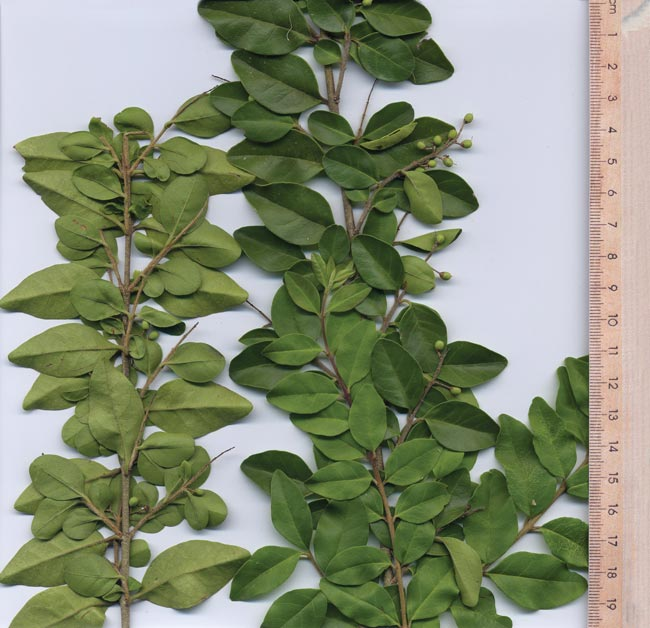 Small-leaf privet leaves