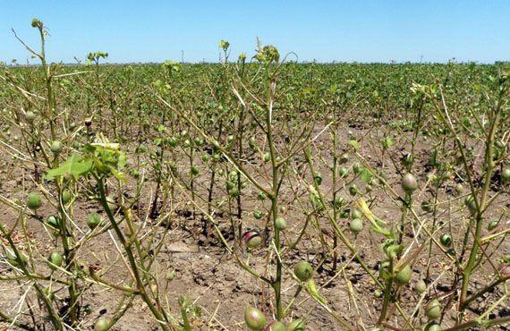 Cotton crop damaged by Spur-throated locusts, Warren