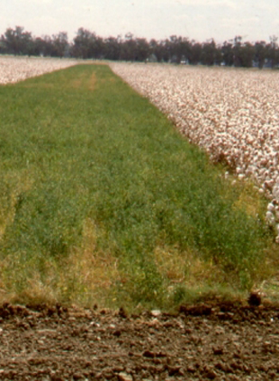 Lucerne in cotton during the wheat harvest provides refuge for the next season