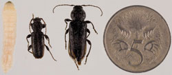EHB larvae to beetle comparison