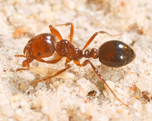 Close up photo of a red imported fire ant