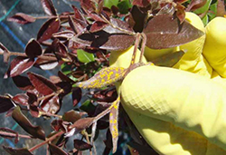 Dark leaves of 'Blushing beauty' showing bright yellow fungal lesions of myrtle rust