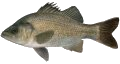 Estuary Perch