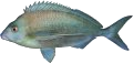 Grey Morwong (Rubber Lip)