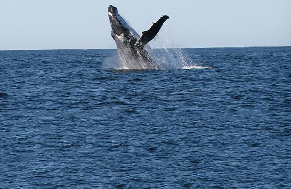 Humpback whale, Photo: Britt Anderson
