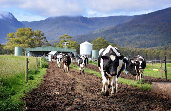 Cows walking