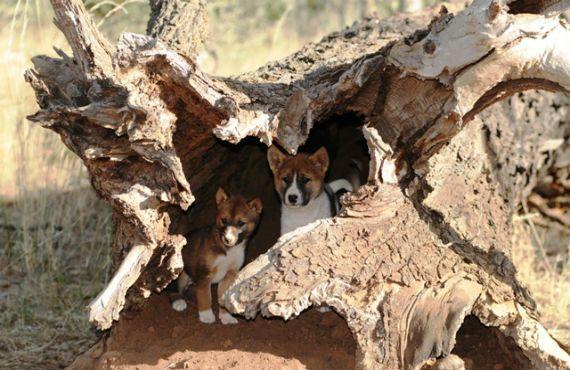 Wild Dog Distribution Australia