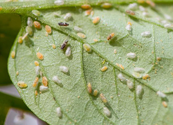 A closeup of many insects on a leaf