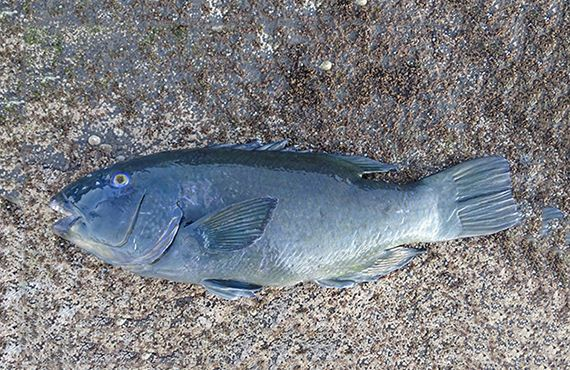 Seized Blue Groper on ground