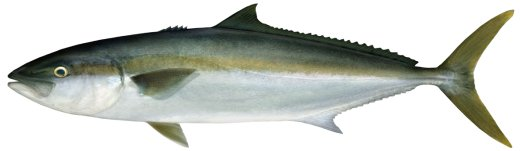 Yellowtail Kingfish